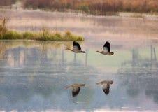 La madrugada tiró de los pájaros de agua que volaban, reflejado en el agua tranquila de un lago Imágenes de archivo libres de regalías