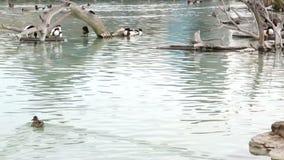 La maggior parte dei uccelli acquatici puliscono le piume nel parco naturale dello stagno stock footage
