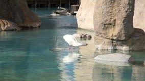 La maggior parte dei uccelli acquatici puliscono le piume nel parco naturale dello stagno video d archivio