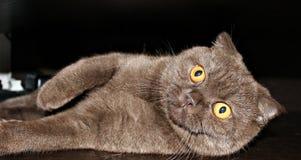 La maggior parte del gattino del cioccolato nel mondo immagine stock libera da diritti