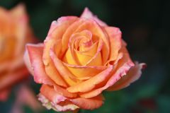 La magia de la rosa foto de archivo