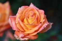 La magia della rosa fotografia stock