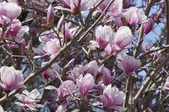 La magnolia éclate dans la fleur Photographie stock libre de droits