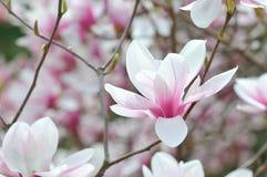 La magnolia Imagen de archivo libre de regalías