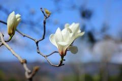La magnolia blanche fleurit au printemps Photo libre de droits