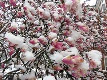 La magnolia congelée fleurit au printemps en mars Photographie stock libre de droits
