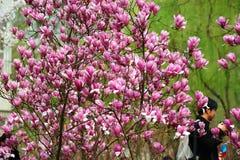 La magnolia di fioritura fotografia stock