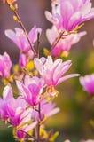 La magnolia fleurit la fleur Photographie stock