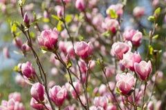 La magnolia fleurit la fleur Photos stock
