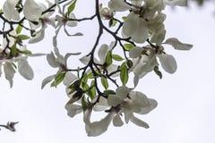 La magnolia fleurit le plan rapproché une journée de printemps chaude Photo libre de droits