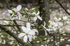 La magnolia fleurit le plan rapproché une journée de printemps chaude Image libre de droits