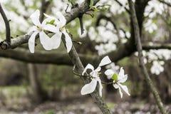 La magnolia fleurit le plan rapproché une journée de printemps chaude Photos stock