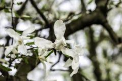 La magnolia fleurit le plan rapproché une journée de printemps chaude Image stock