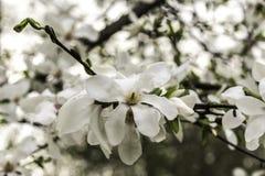 La magnolia fleurit le plan rapproché une journée de printemps chaude Photographie stock