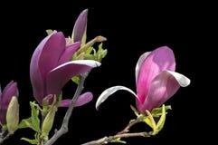 La magnolia fleurit sur le fond noir - fleurs de floraison colorées de ressort des buissons et des arbres Photos libres de droits
