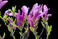La magnolia fleurit sur le fond noir - fleurs de floraison colorées de ressort des buissons et des arbres Images libres de droits