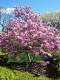 La magnolia fleurit sur un arbre contre le ciel Images libres de droits