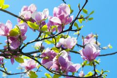 La magnolia florece el árbol imagenes de archivo