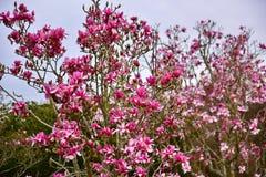 La magnolia florece la floración en último invierno en jardines botánicos Foto de archivo