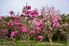 La magnolia florece la floración en último invierno en jardines botánicos Fotografía de archivo