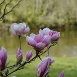 La magnolia floreció en el fondo borroso del lago Imagenes de archivo