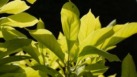 La magnolia sale del fondo negro macro fotografía de archivo libre de regalías