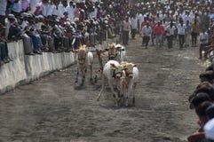 La MAHARASHTRA, INDIA, aprile 2014, la gente gode della corsa del carretto di Bullock o dello sharyat tradizionale di bailgada fotografia stock