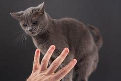 La main avec l'index indique un chat gris image libre de droits
