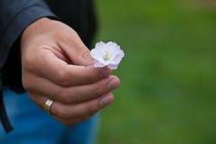 La main d'homme donne une fleur rose de sacura avec amour Image stock