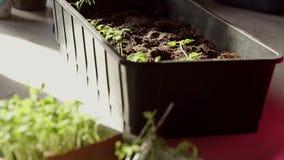 La main d'une femme adulte plantent les jeunes plantes dans des récipients avec le sol banque de vidéos