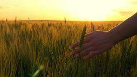 La main d'une jeune femme touche lentement les épillets du blé contre le coucher du soleil banque de vidéos