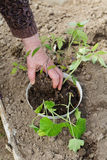 La main d'une plantation de dame âgée photo libre de droits