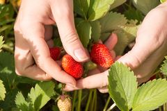 La main de femme avec les fraises fraîches s'est rassemblée en jardin Photographie stock libre de droits