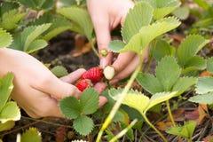 La main de femme avec les fraises fraîches s'est rassemblée en jardin Photographie stock