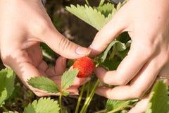 La main de femme avec les fraises fraîches s'est rassemblée en jardin Image stock