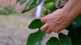La main de la femme prenant un fruit de figue d'un arbre banque de vidéos