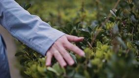 La main de la fille frappe les feuilles vertes des arbustes banque de vidéos