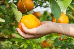 La main de garçon sélectionnant une orange sur l'arbre de branche. Photos stock