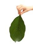 La main de l'enfant jugeant une grande feuille verte d'isolement sur le blanc Image stock