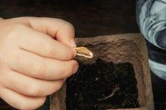 La main de l'enfant tient une graine germée d'une courge à la moelle et l'abaisse à la terre qui est dans un pot de tourbe photographie stock