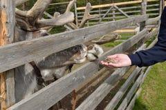 La main de l'homme donne la mousse de renne Images stock