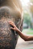 La main de l'homme sur la tête de l'éléphant le concept de l'amitié et du soin teinte photographie stock