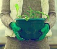 La main de la femme tenant le pot avec des jeunes plantes Photographie stock