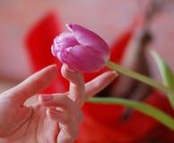 Tulipe Photos libres de droits