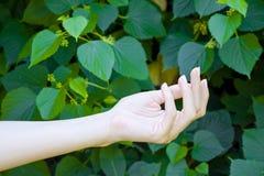 La main de la jeune fille sur le vert pousse des feuilles fond Images stock