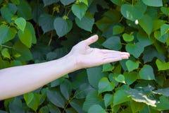 La main de la jeune fille sur le vert pousse des feuilles fond Photographie stock libre de droits