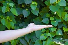 La main de la jeune fille sur le vert pousse des feuilles fond Photo stock