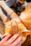 La main de personne tapote le chat de gingembre Photo stock