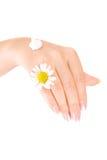 La main des femmes avec de la crème et la camomille Photos libres de droits