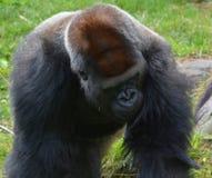 La main des gorilles sont terre-logement, singes principalement herbivores photos stock